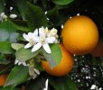 orange fruit & flowers on tree