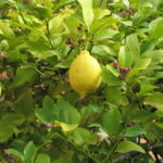 lemon tree with fruit