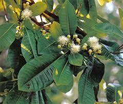 buds of clove flower