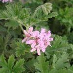 pelargonium graveolens leaves & flower