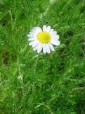 roman chamomile flower