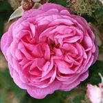 rosa centifolia flower