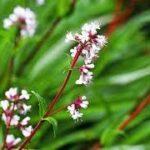 spikenard flowers