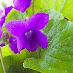 violet leaf and flower