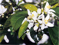 bitter orange neroli flowers