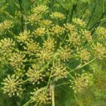 sweet fennel seeds on plant