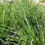 vetivert grass
