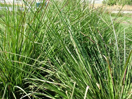 vetivert grass