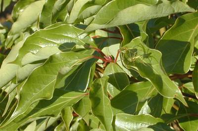 ravensara aromatica leaves