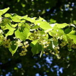leaves and flowers of lime (linden) tree