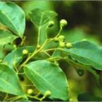 leaves and fruit of cinnamonum camphora tree