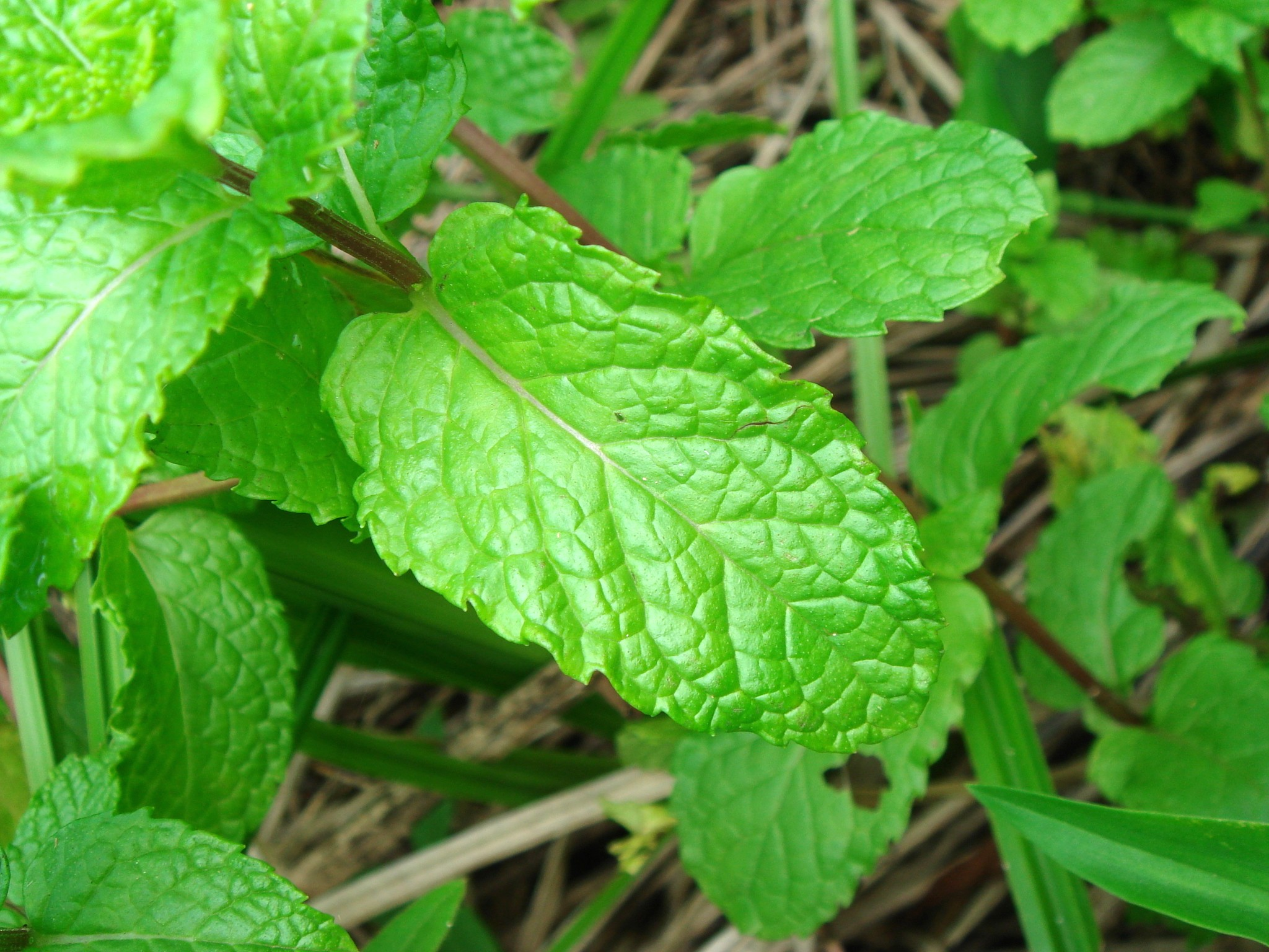 leaves of spearmint
