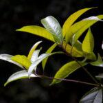 leaves of tea tree