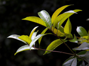 leaves of tea tree